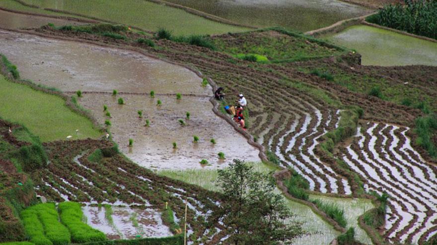 किसान भन्छन्- 'मानो रोपेर मुरी फलाउने दिन गए'
