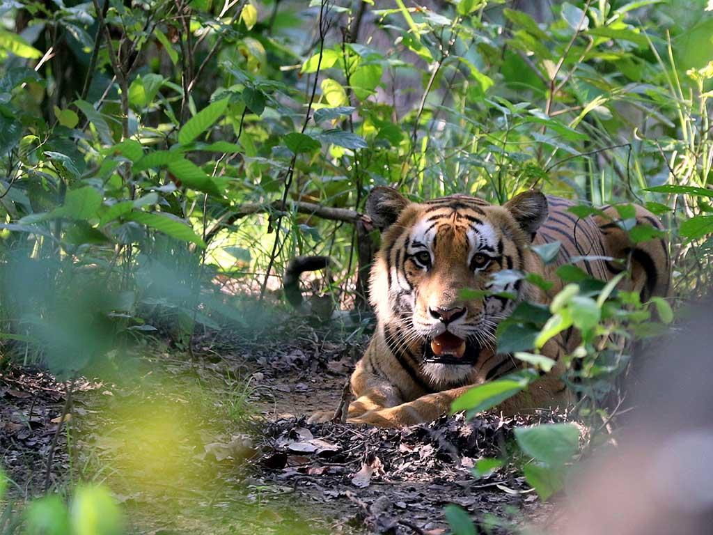 रोकिएन बाघ आक्रमण, फेरि एकको मृत्यु