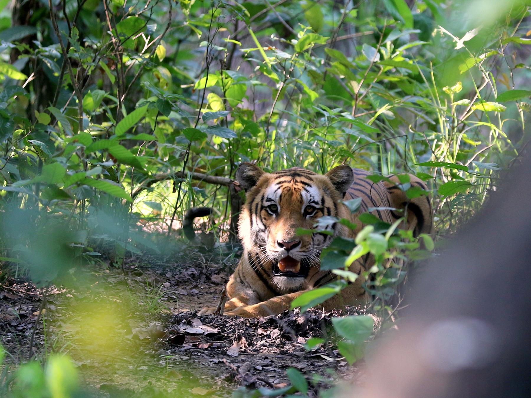 बाघ खासै छैन, चितुवा घरघरै पुग्छन्