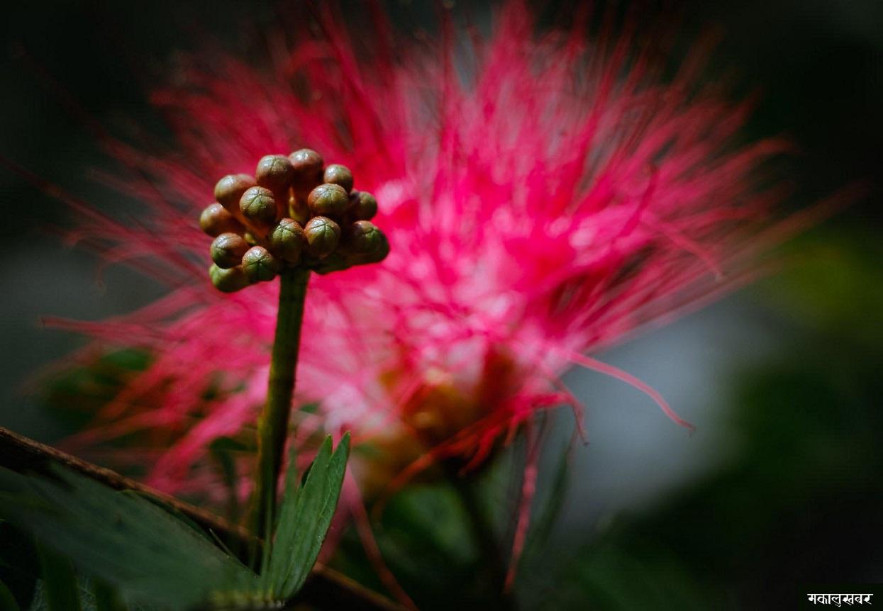 मुस्काइरहेका फूलहरु (फोटोफिचर)