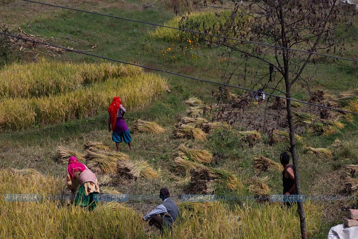 काँठ क्षेत्रमा धान भित्र्याउन भ्याइनभ्याइ (तस्बिरहरू)