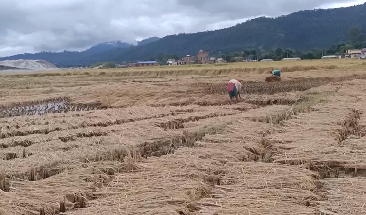 बेमौसमी वर्षा : गुल्मीमा डेढ करोडको धान क्षति
