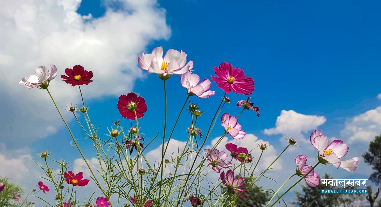 मनै लोभ्याउने फूल (तस्बिरहरू)